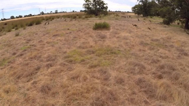 Kangaroo Round up – Whiteman