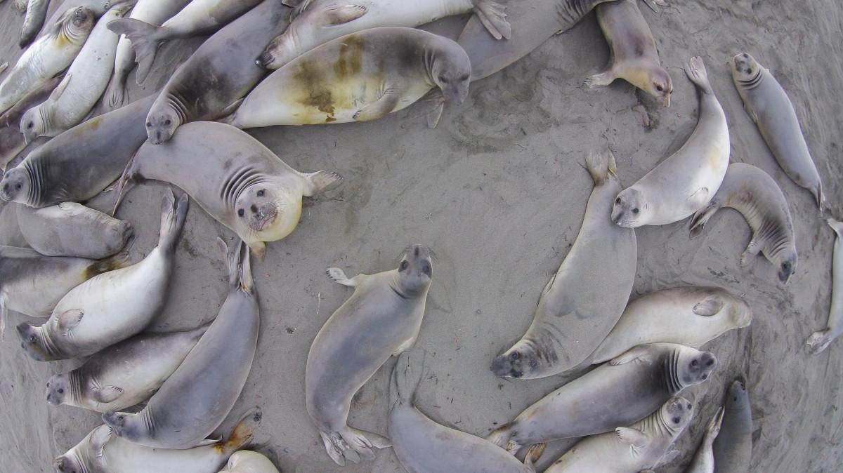 Elephant Seals Big Sur Elephant Seals Big Sur