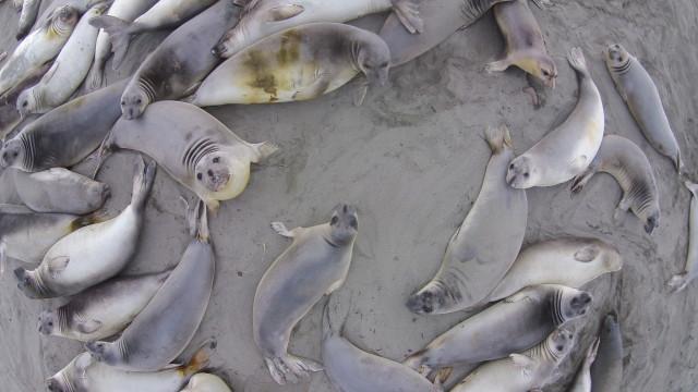 Elephant Seals : Big Sur : California