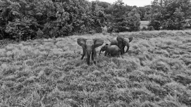 Elephant of Gabon Nyonié
