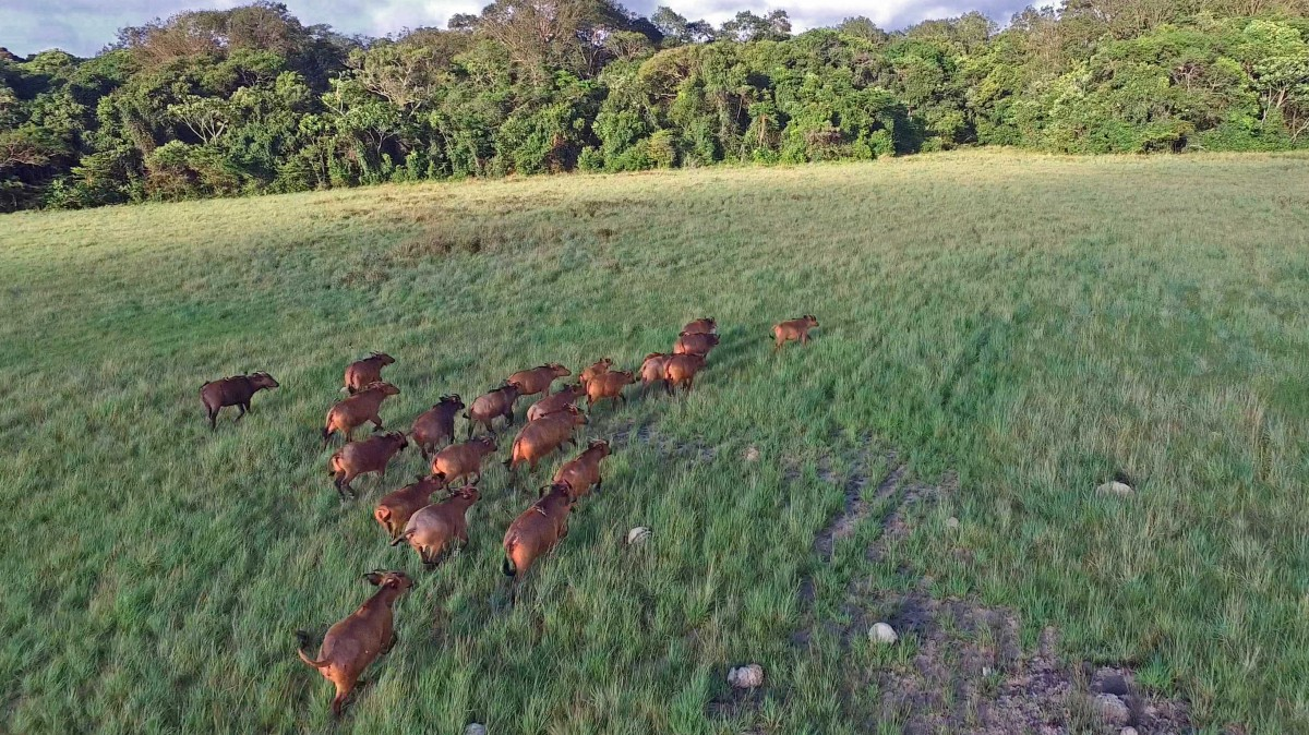 Buffaloes of GABON