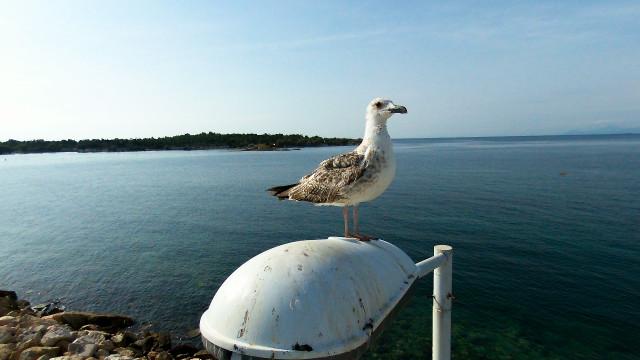 Athens,Seagull