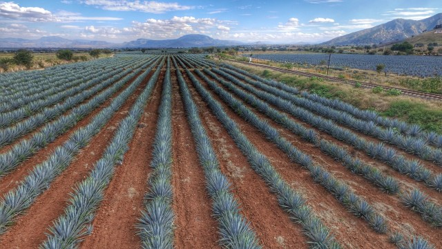 Agave Fields, Tequila Jalisco, Mexico