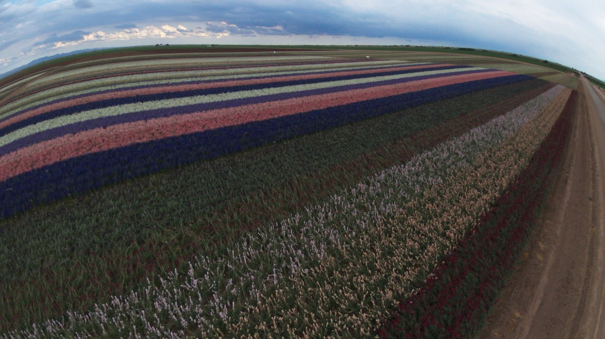 Flower fields, Imperial County, USA