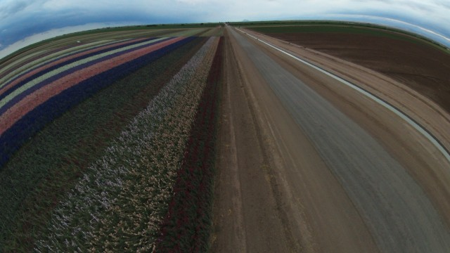 Flower fields, Imperial County, USA
