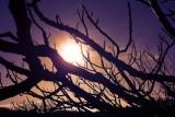 Fig Tree,Primošten, Croatia