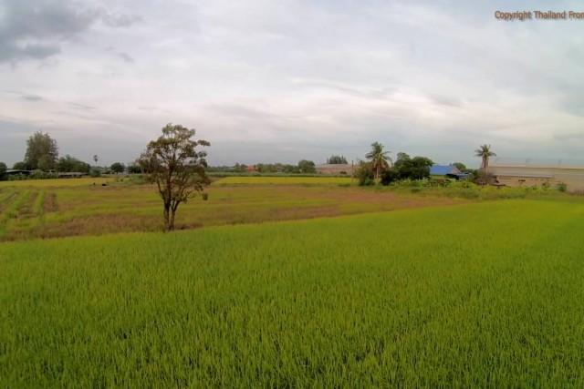 wangsala, rice field in thailand