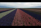Flower Fields of Niland
