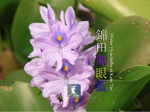 water hyacinth pool, shui mei tsuen, kam tin, yuen long, new territories, hong kong