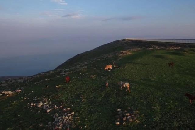 Cows at Arbel, Israel