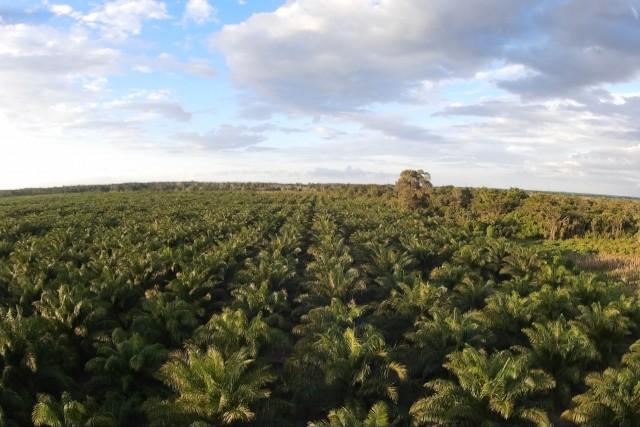 Palma de aceite en Chicbul, Campeche