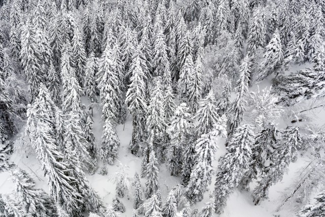 Snow Forest in the French Alps