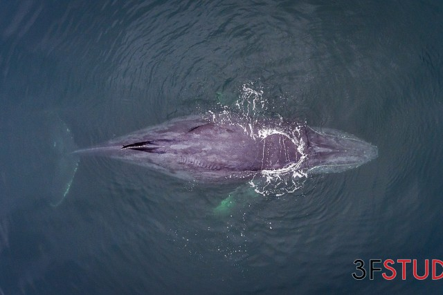 Gray whale, Puerto Vallarta, Mexico