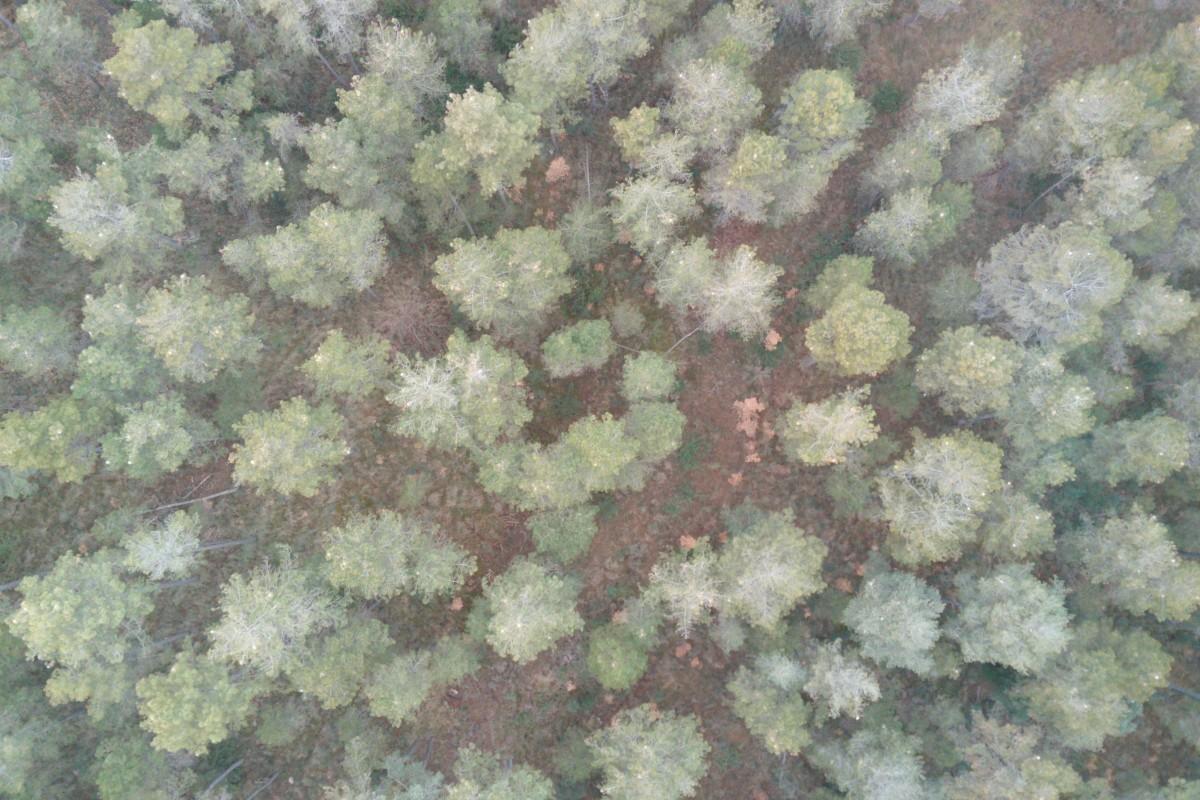 Bosc i processionària del pi (Forest & Pine processionary – Thaumetopoea pityocampa)