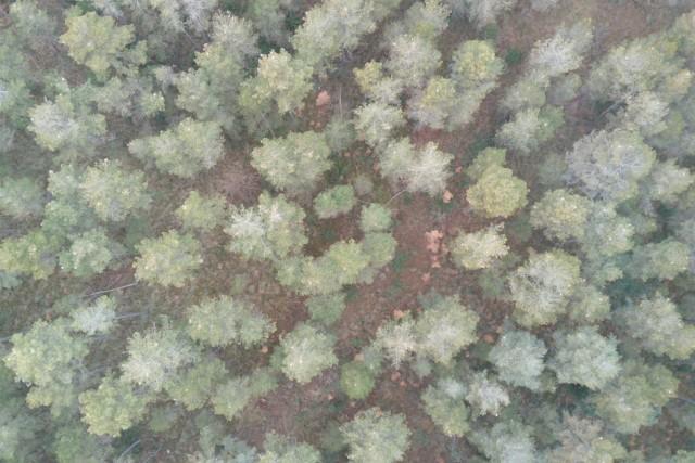 Bosc i processionària del pi (Froest & Pine processionary – Thaumetopoea pityocampa)