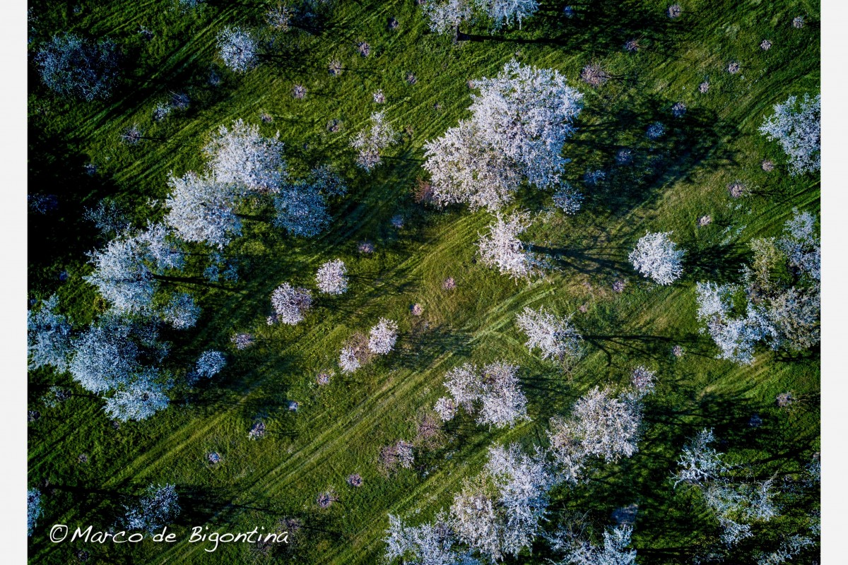 Cherry trees flowers from the air