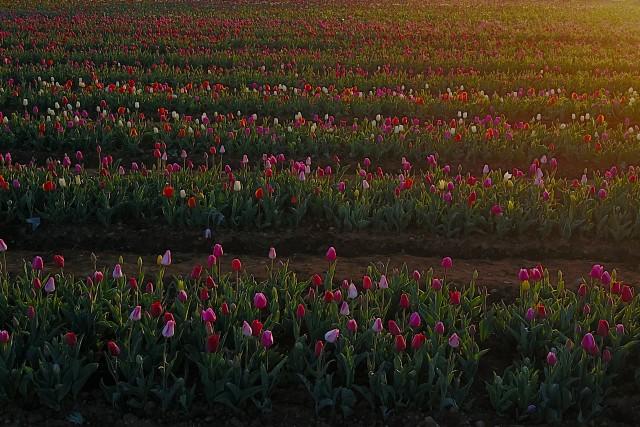 Tulips Lines