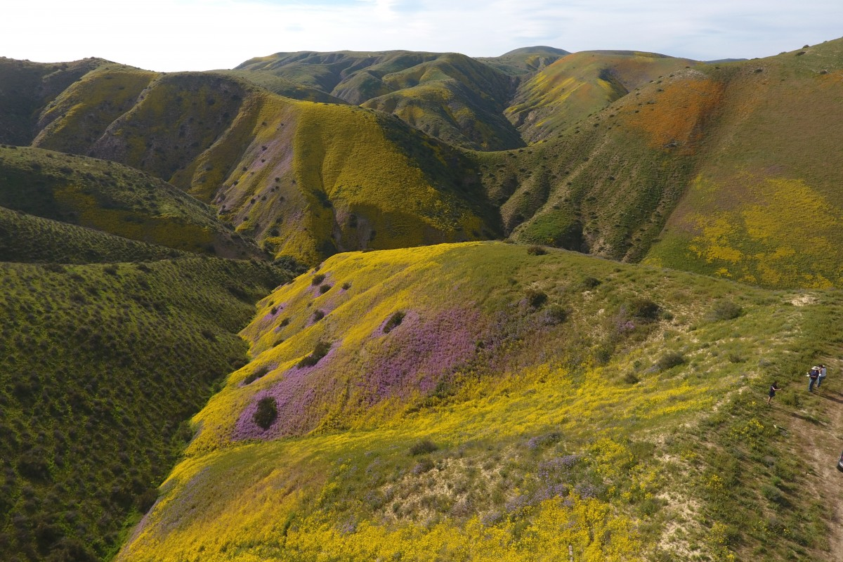 Temblor Range wildflowers