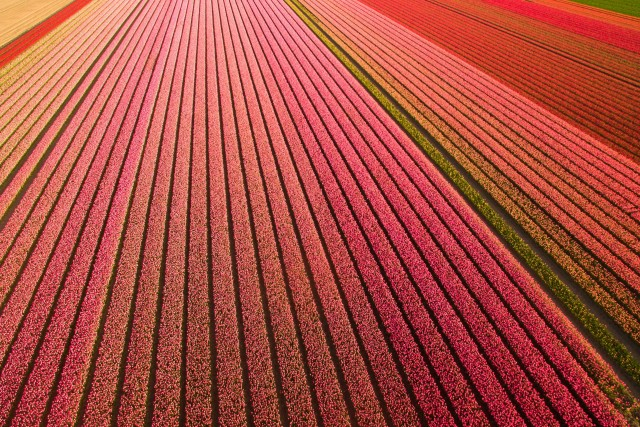 Tulip fields – Netherlands