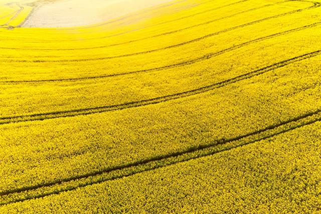 Golden fields of Dorset