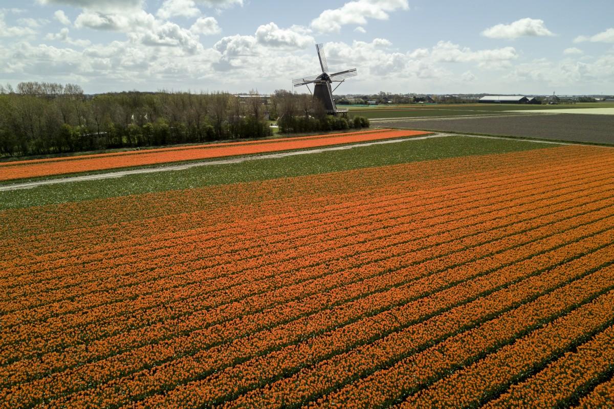 Tulipes et Moulin (Netherlands)