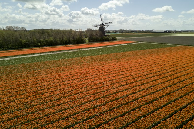 Tulipes et Moulin (Netherlands)