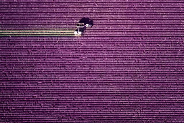 Lavender, lavender