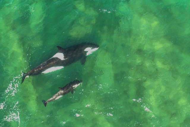 Orcas in freedom