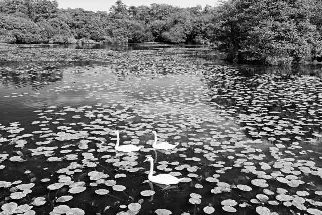 White Swan in the lake of Léon France