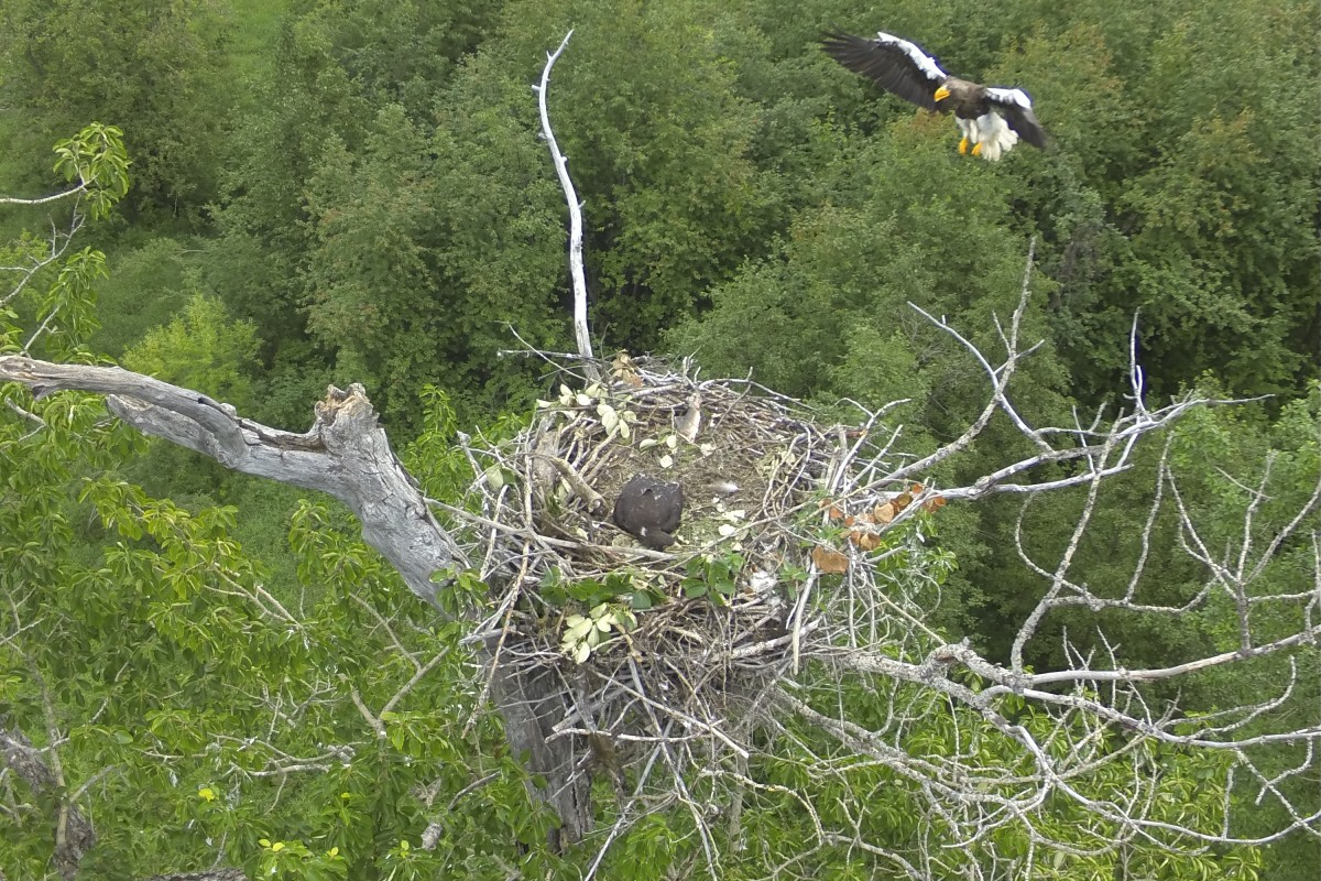 Steller's Sea Eagle delivering fish to its nest