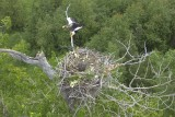 The Largest Eagle of the World at the nest
