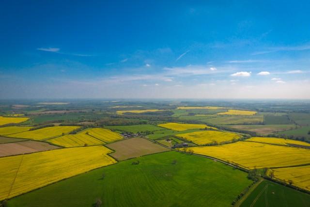Mustard Fields, Yellow Mustard Fields, Oakham, Leicestershire