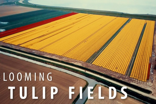 Dutch Tulip Fields – 4K