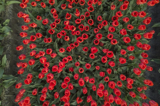 Tulipes rouge de hollande (Netherlands)