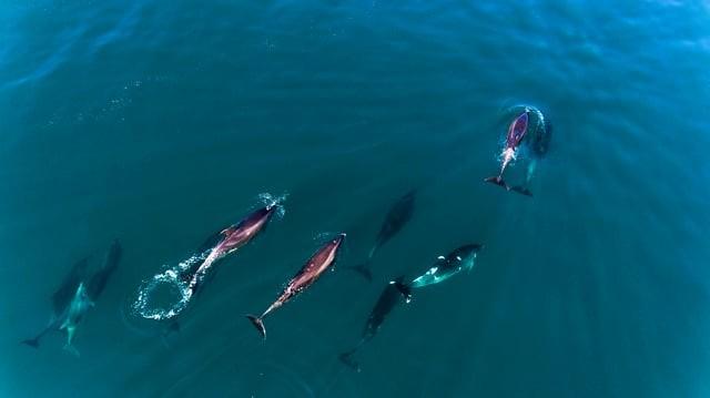 Manada de delfines, Oyambre, Cantabria.