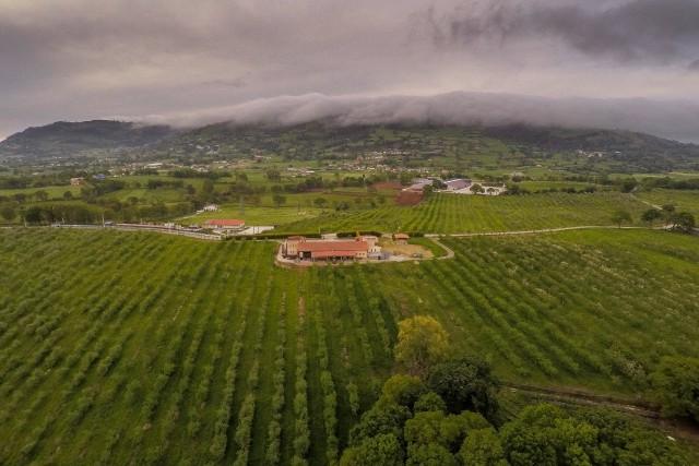 Plantacion de manzanos para sidra