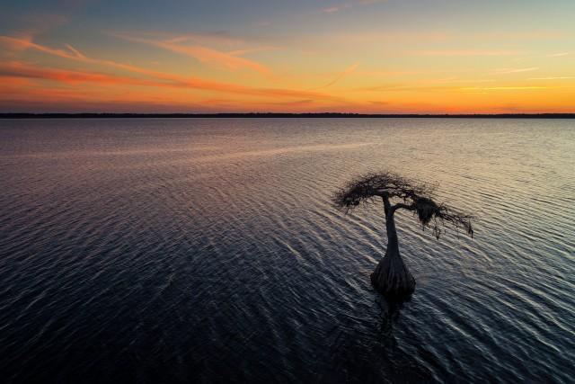 Bald Cypress at sunset.