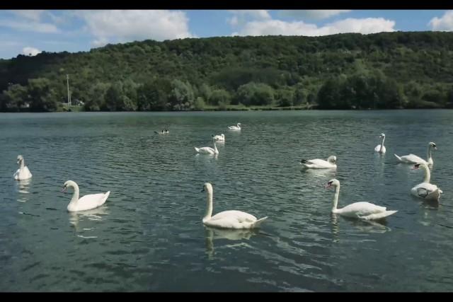22 Swans