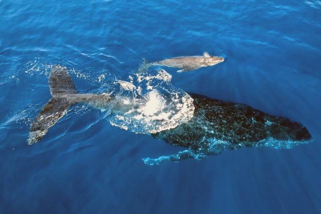 Baleine à bosse et son bébé. Ile de La Réunion, Ocean Indien.