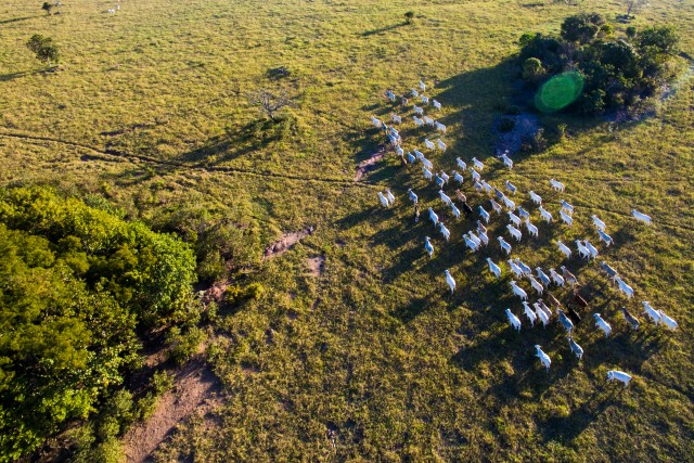 Cattle in Pantanal