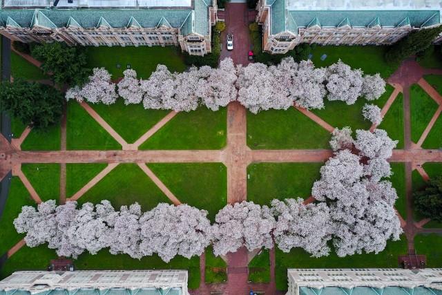 Bird's Eye of UW's Cherry Blossoms