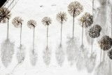 Trees in the snow 2