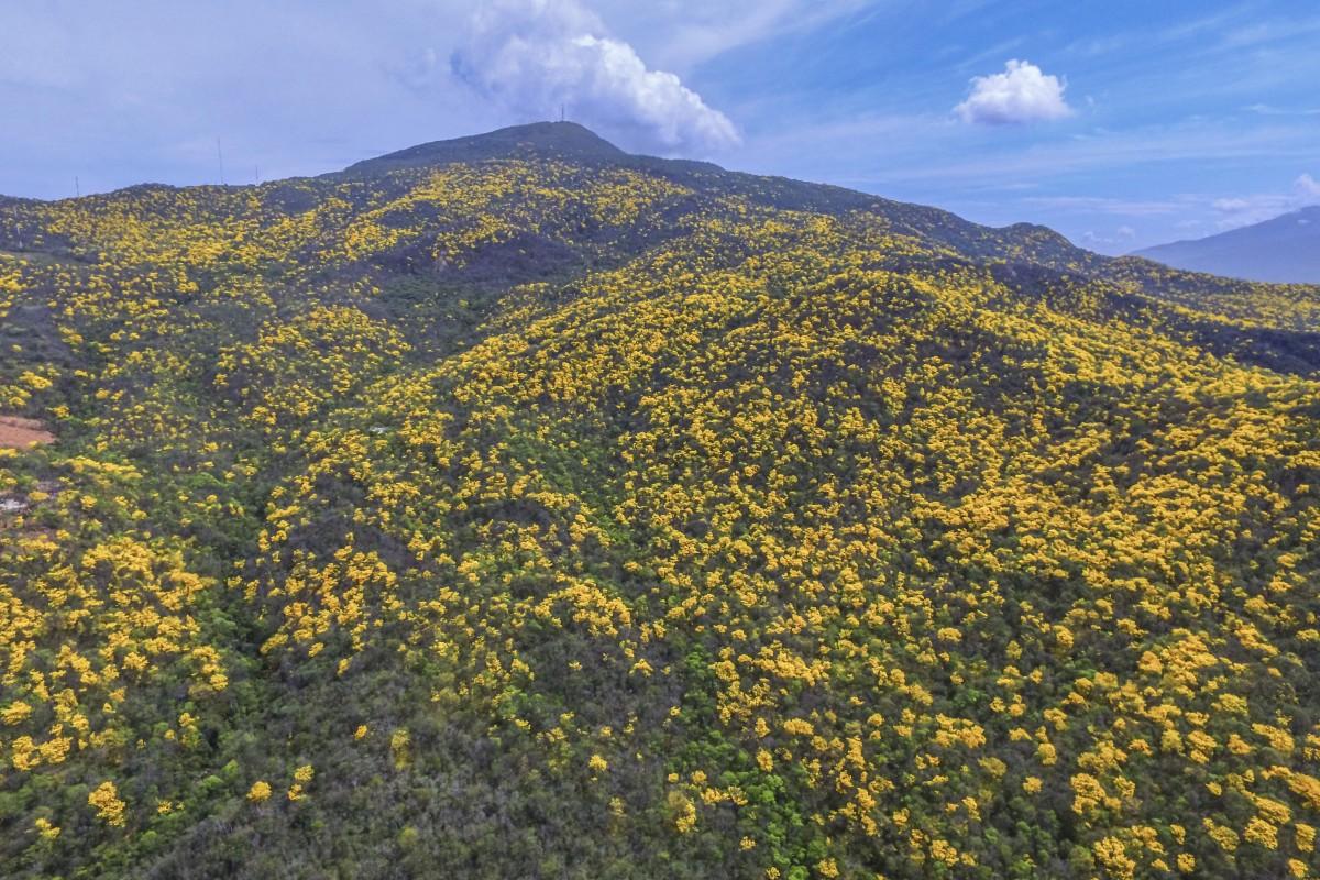 Flowered Cañaguate