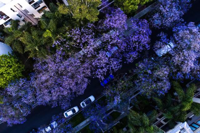 Jacarandas in Spring