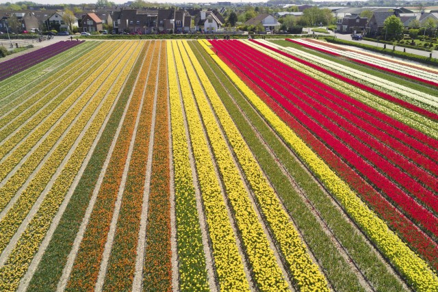 Rows of Tulips, The Netherlands