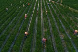 Farmer working on capsicum garden