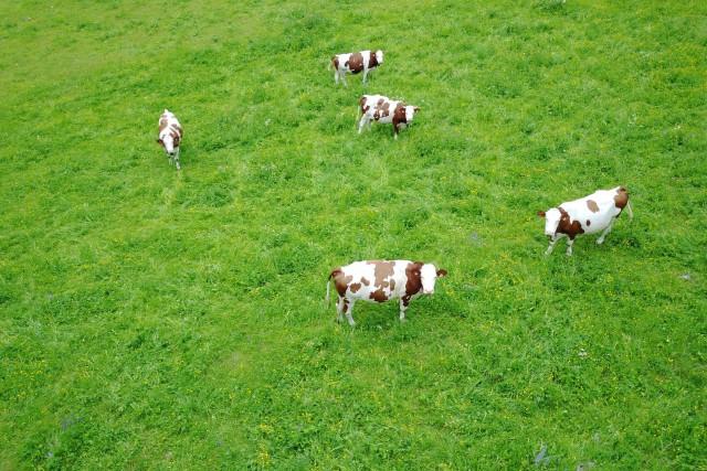 Les vaches de Haute-Savoie