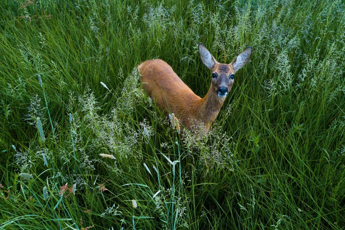 Extremely curious deer