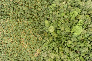 Palm oil plantations in Borneo, Malaysia are destroying the rainforest.