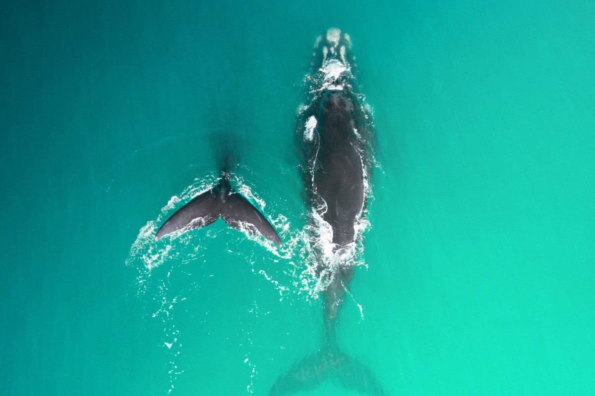 Souther Right Whales